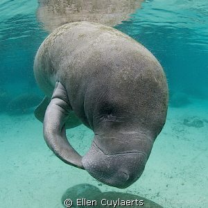 Manatee kiss by Ellen Cuylaerts 